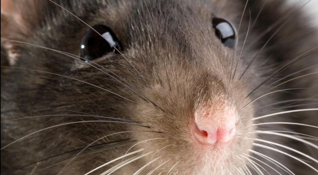 tipi di topi