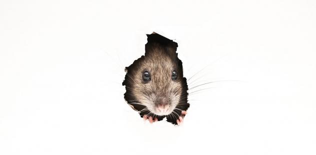 Derattizzazione brescia disinfestazione da topi e roditori - Come catturare un topo in casa ...