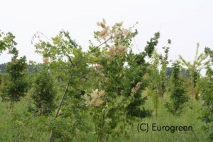 Ifantria - danni su vegetazione