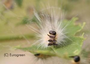 Ifantria - larva esapode bis