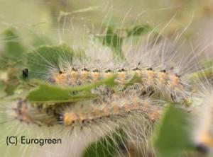 Ifantria - larva matura
