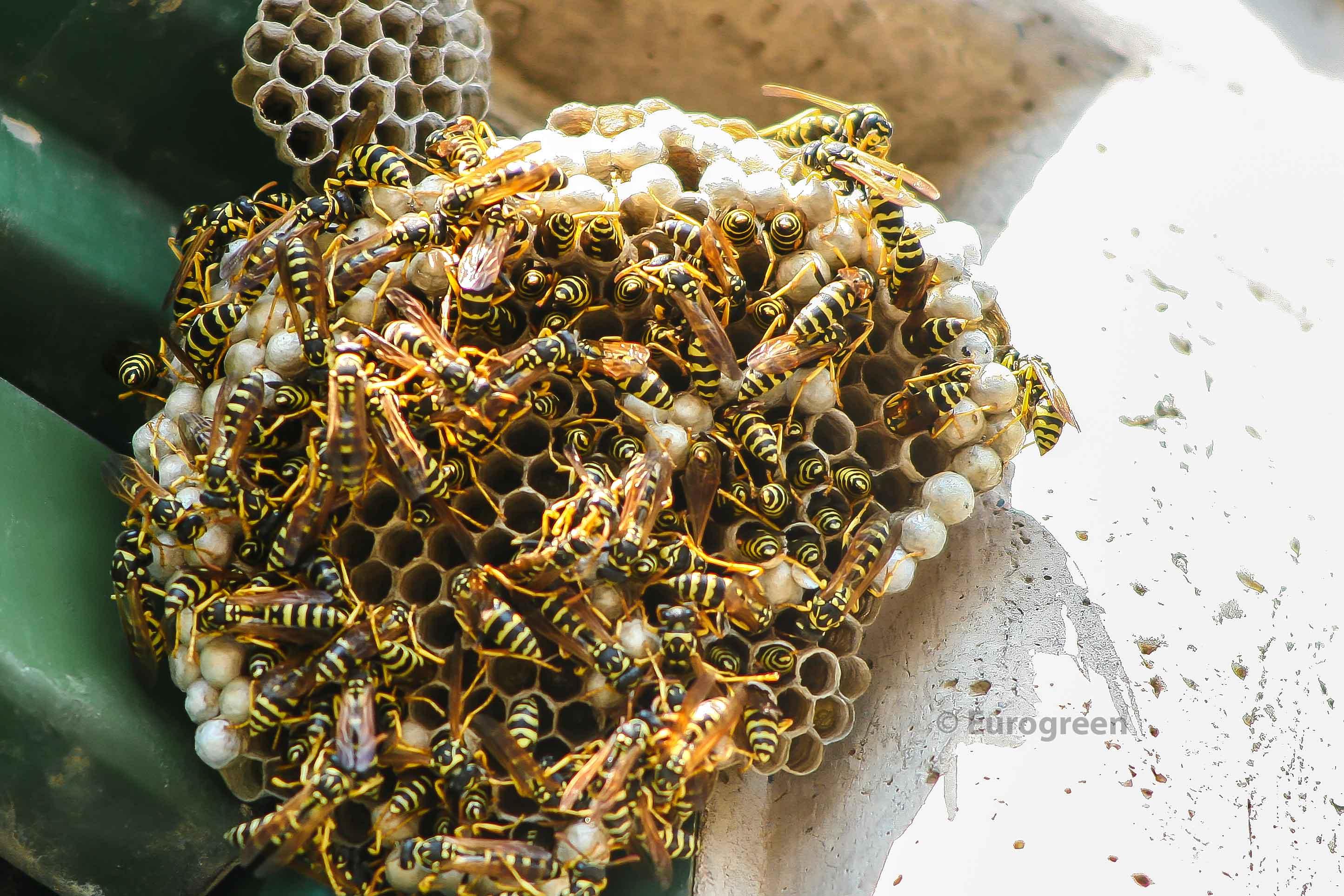 disinfestazione vespe e calabroni | chiama eurogreen