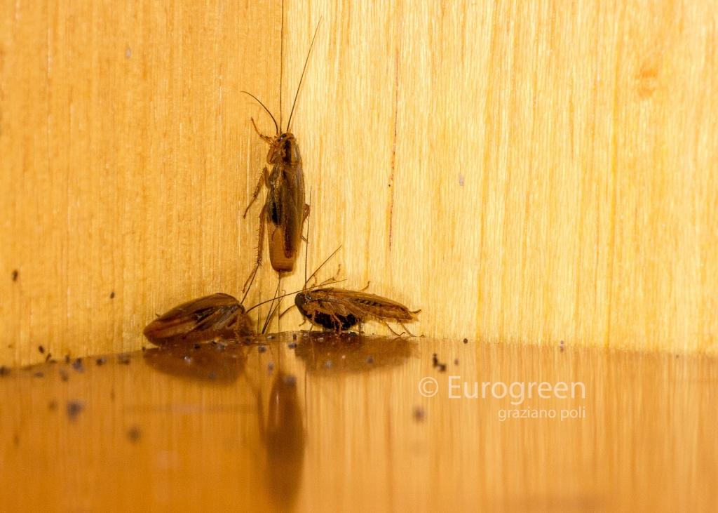 Eliminare gli scarafaggi in casa leggi le 7 risposte eviterai le malattie e l 39 insetticida - Insetti neri in casa ...
